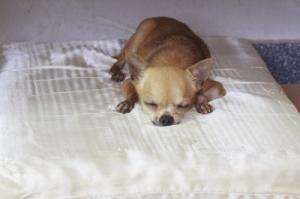 ID-100102547_Chihuahuadog_olovedog